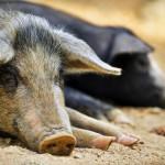 Zur Ruhe kommen, Schweine beobachten