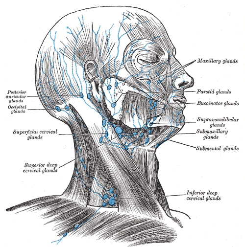 Lymphknoten: Henry Vandyke Carter - Henry Gray (1918) Anatomy of the Human Body